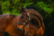 Horseware Rambo Padded Headcollar Horse Gold